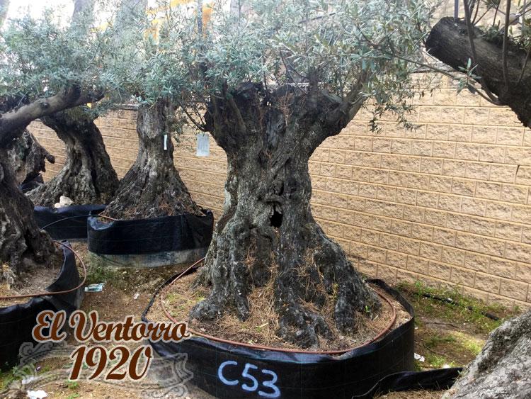 Olivos Centenarios 53