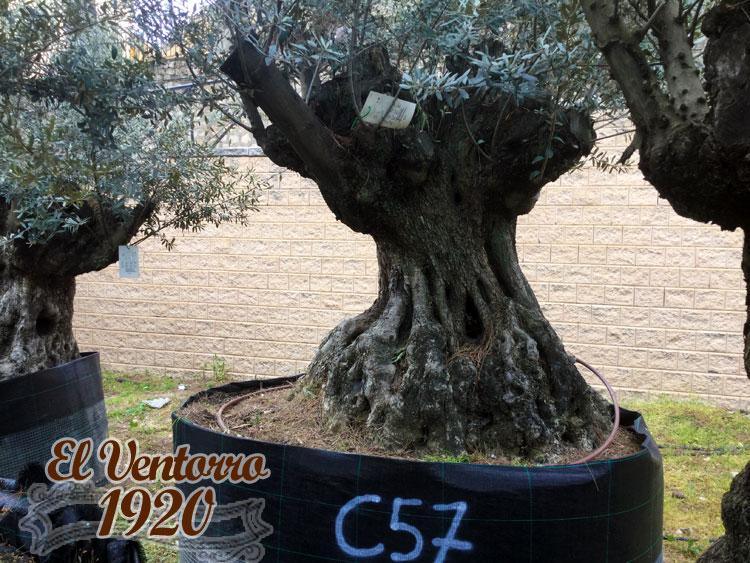 Olivos Centenarios 57
