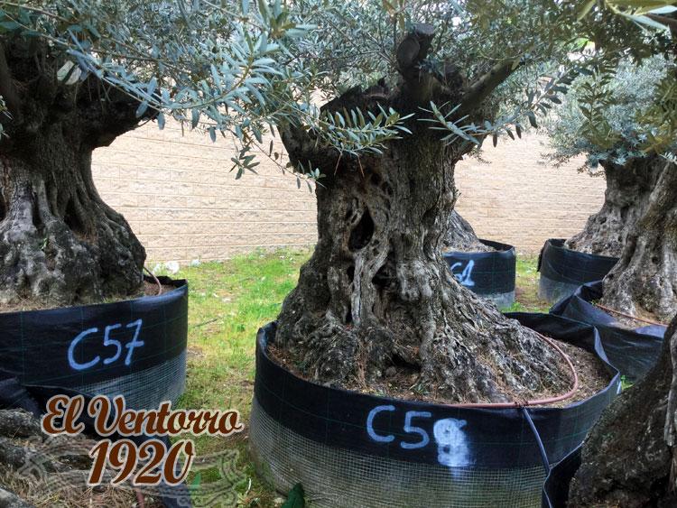 Olivos Centenarios 59