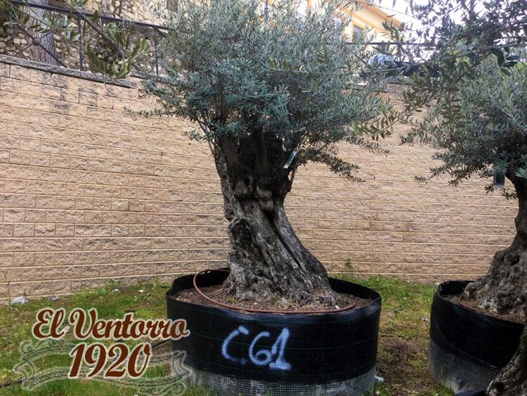 Olivos Centenarios 61