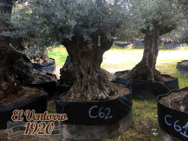 Olivos Centenarios 62