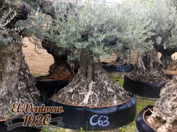 Olivos Centenarios 63
