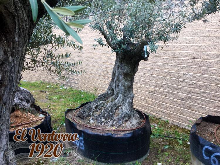Olivos Centenarios 65
