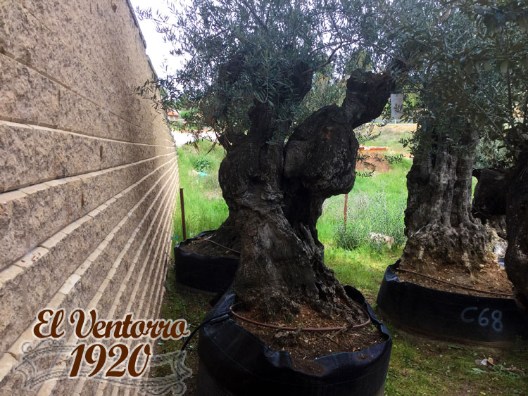 Olivos Centenarios 66
