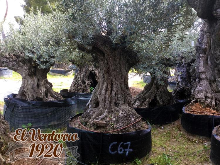 Olivos Centenarios 67