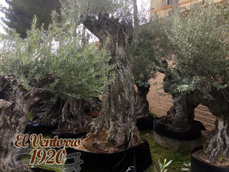 Olivos Centenarios 68
