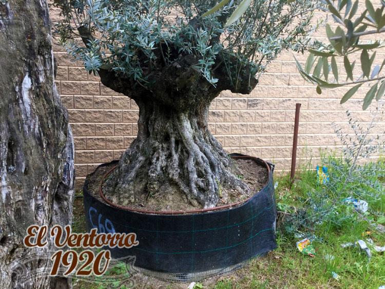 Olivos Centenarios 69