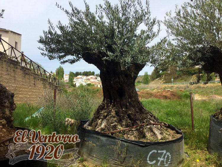 Olivos Centenarios 70
