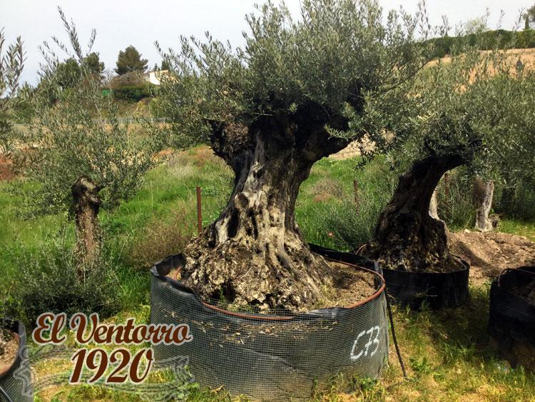 Olivos Centenarios 73
