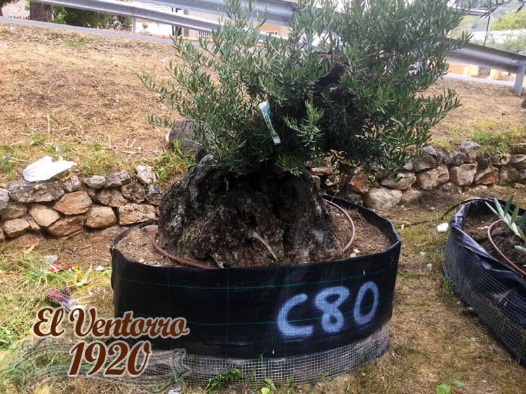 Olivos Centenarios 80