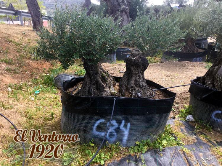 Olivos Centenarios 84