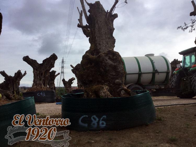 Olivos Centenarios 86