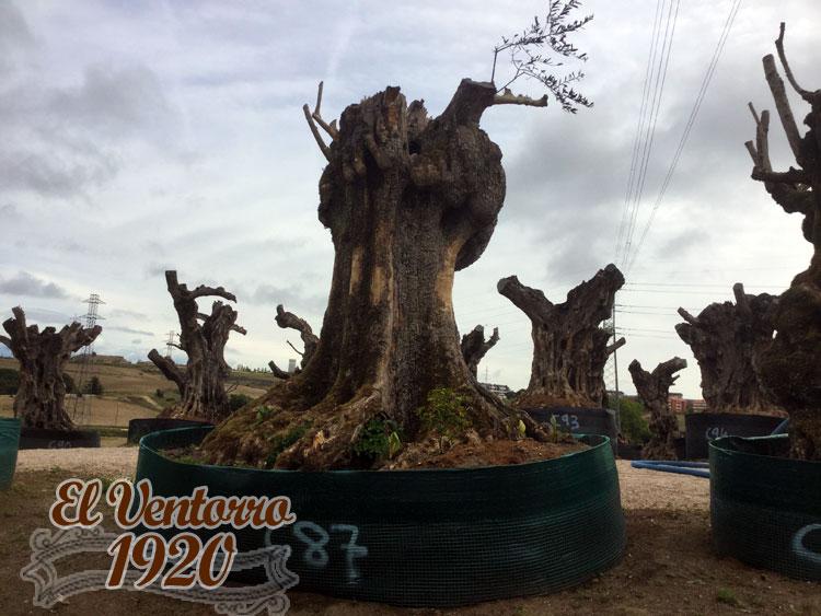 Olivos Centenarios 87