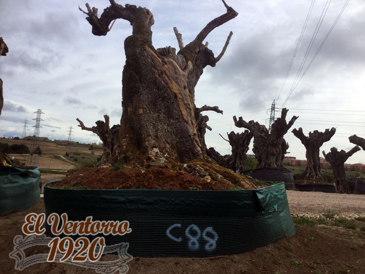 Olivos Centenarios 88