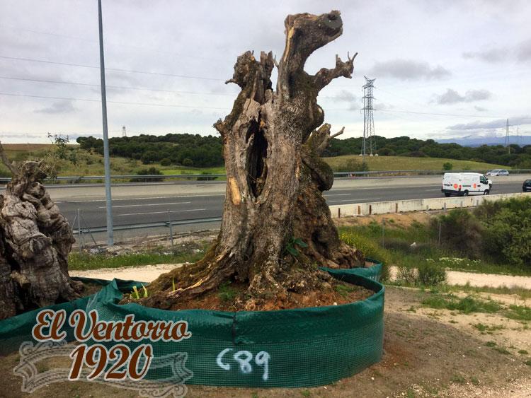 Olivos Centenarios 89