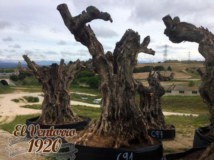 Olivos Centenarios 91