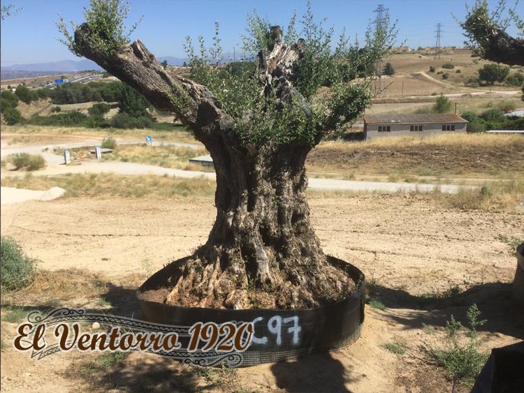 Olivos Centenarios 97
