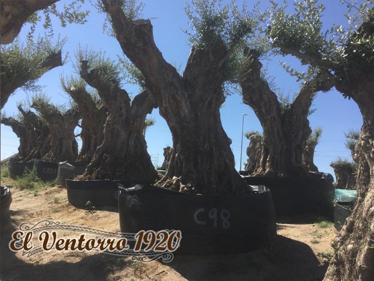 Olivos Centenarios 98