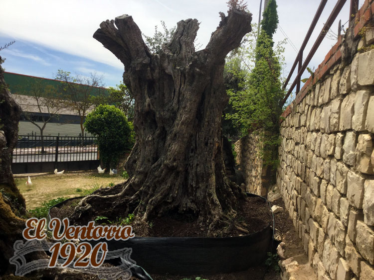 Olivos Milenarios 05