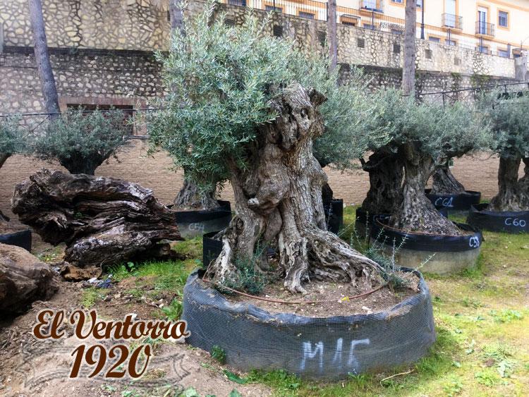 Olivos Milenarios 15