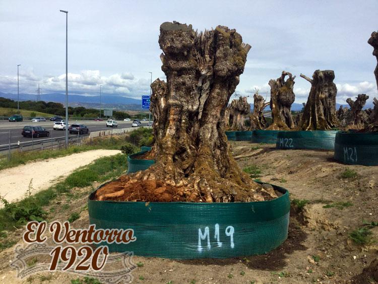 Olivos Milenarios 19