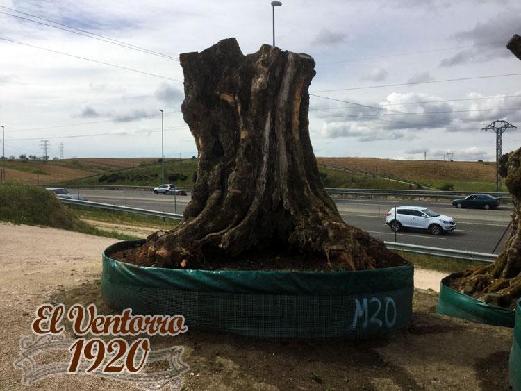 Olivos Milenarios 20