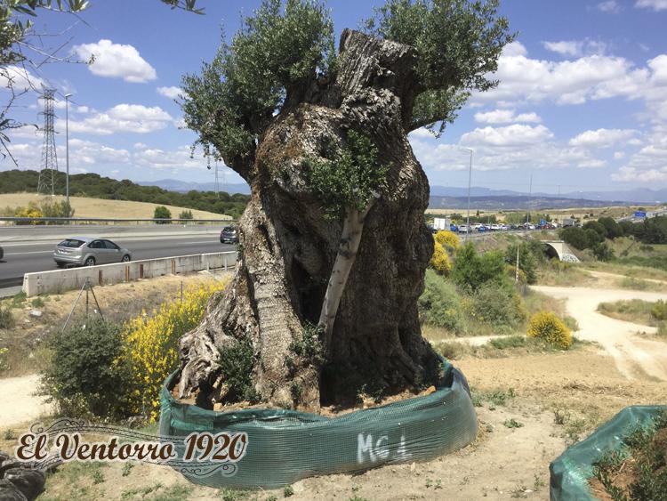Venta de olivos con vegetacion