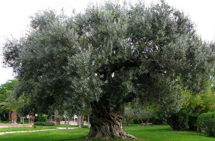 Como cuidar un olivo en maceta casa dise o casa dise o - Olivo en maceta ...