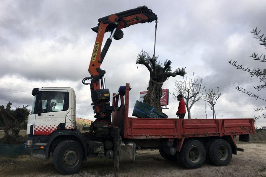 traslado olivo milenario
