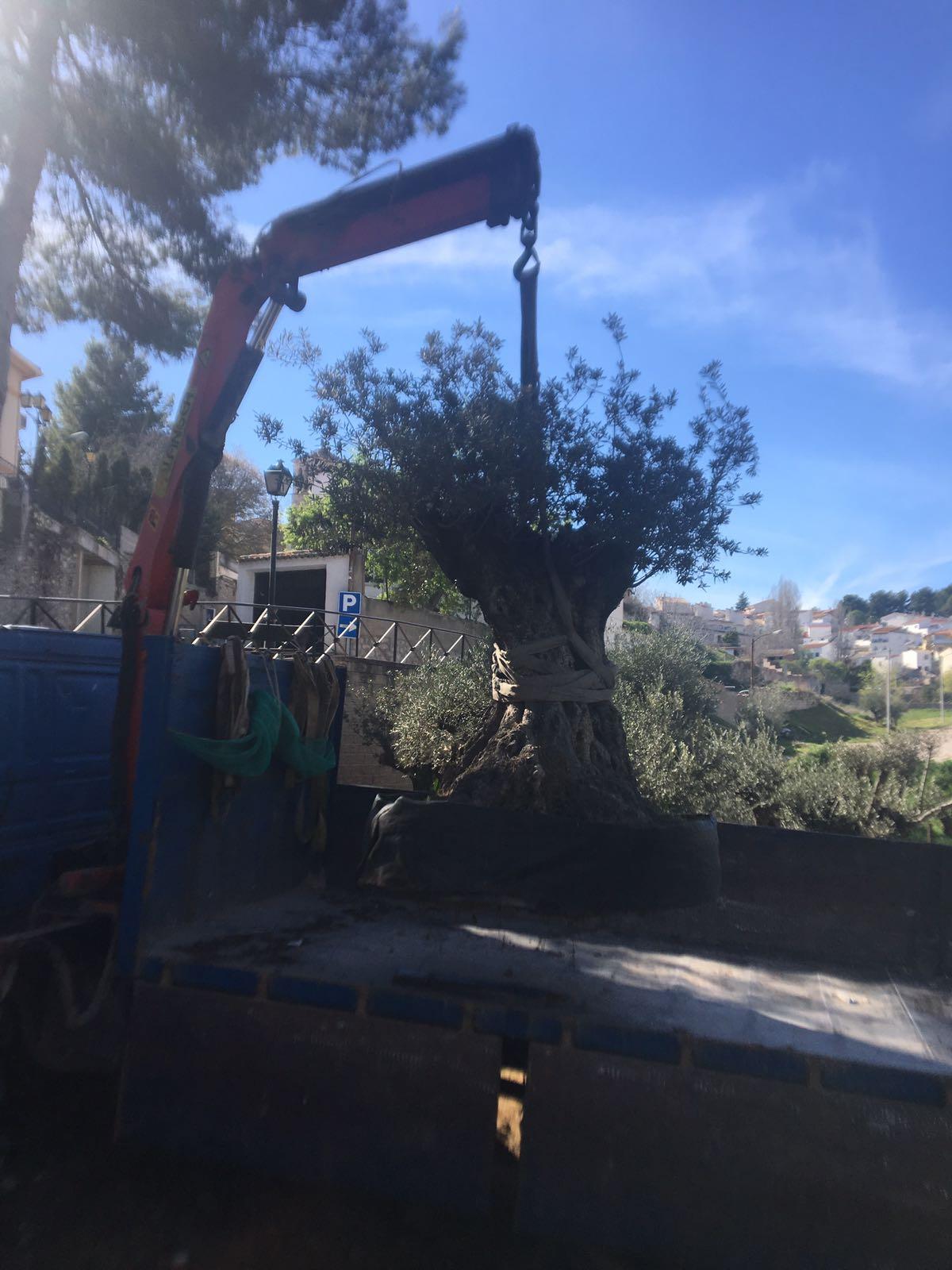 Traslados de olivos