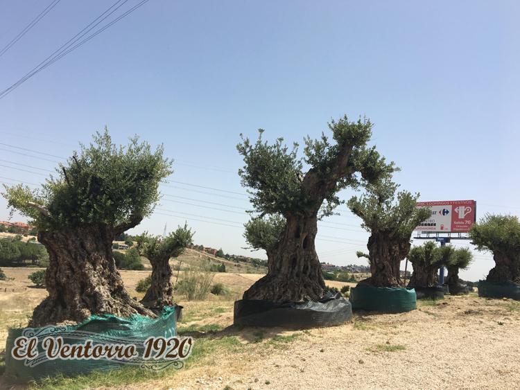 olivos vegetados