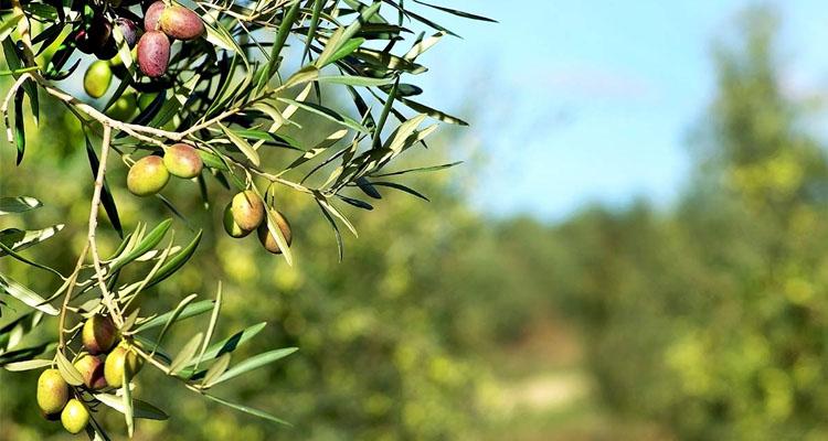 consejos para mejorar cosecha del olivo