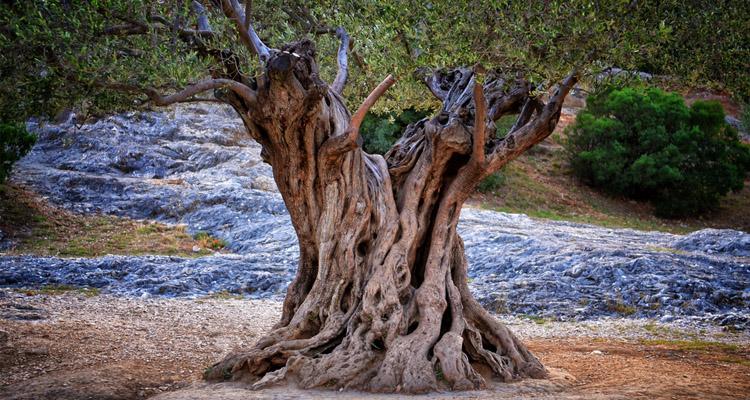 beneficios olivos milenarios