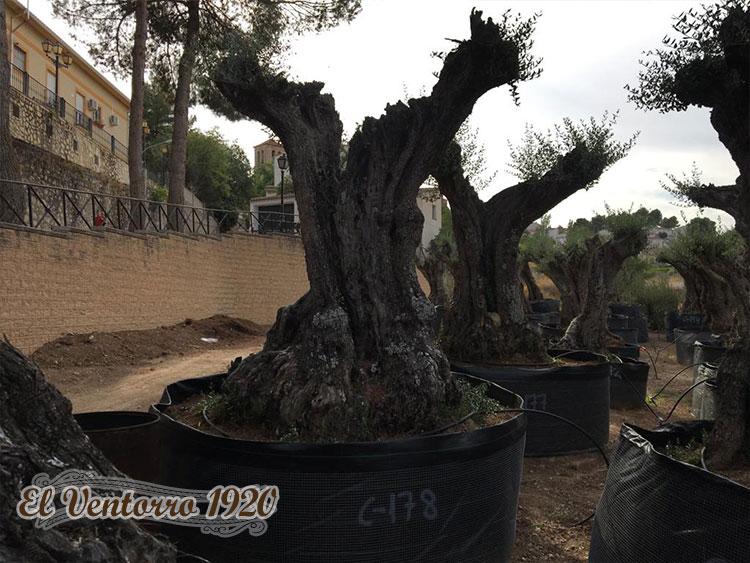 Venta de olivos centenarios