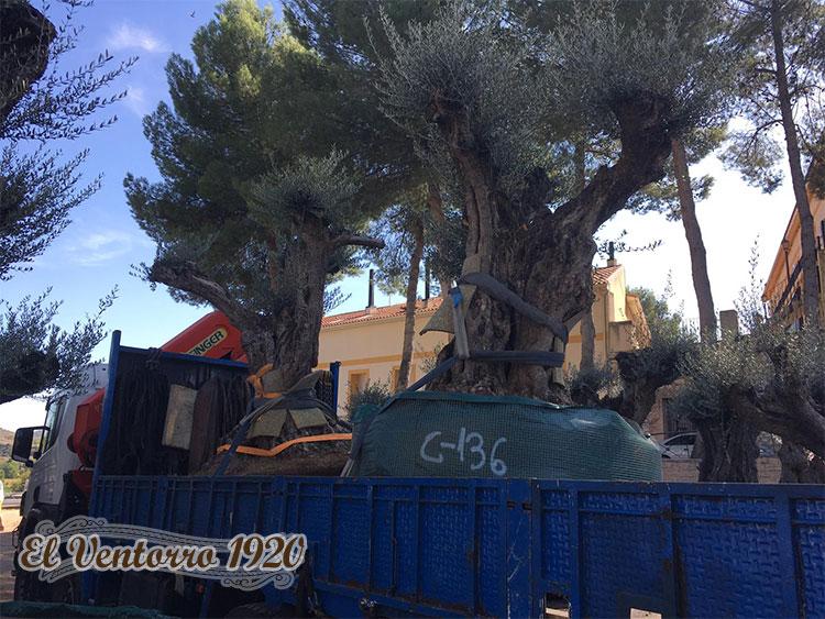 venta de olivos galeria