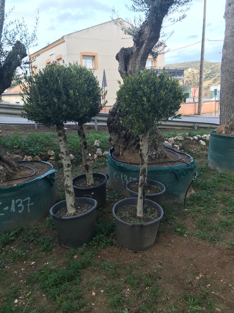 Venta de olivos jovenes