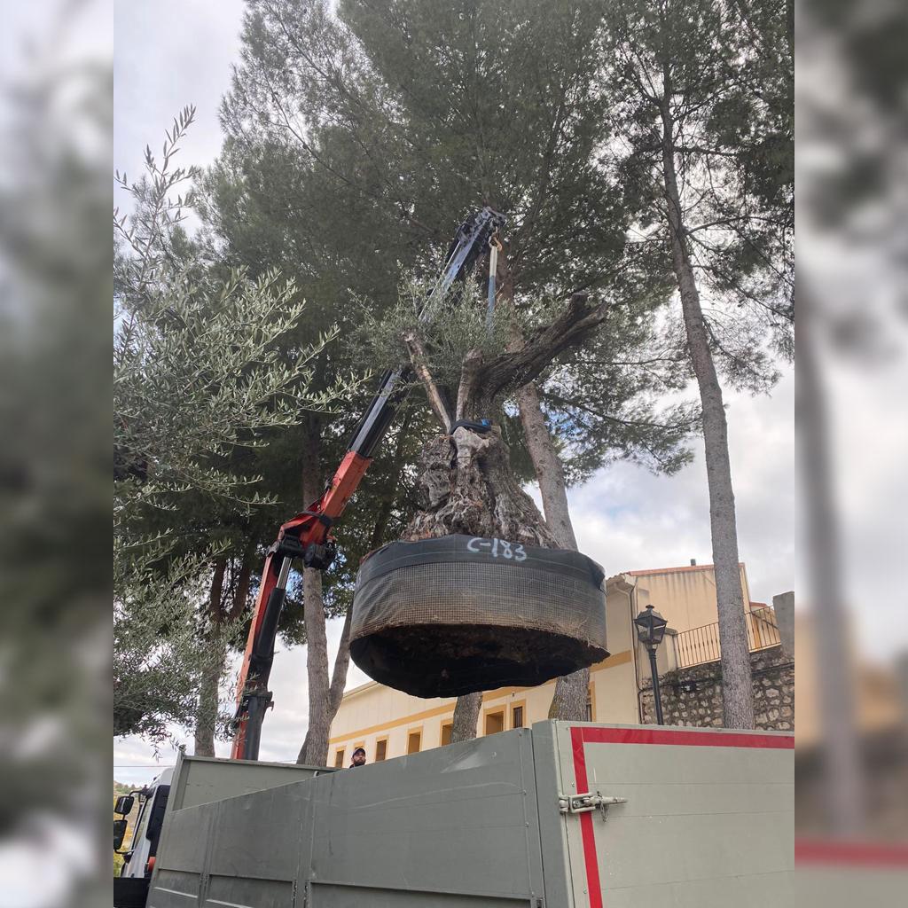 transporte de olivos milenarios