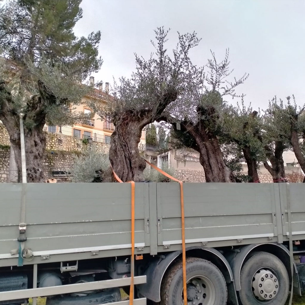 venta de olivos centenarios instalacion