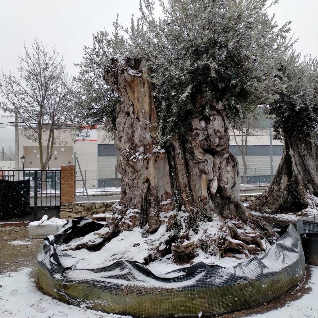 venta de olivos centenarios y milenarios