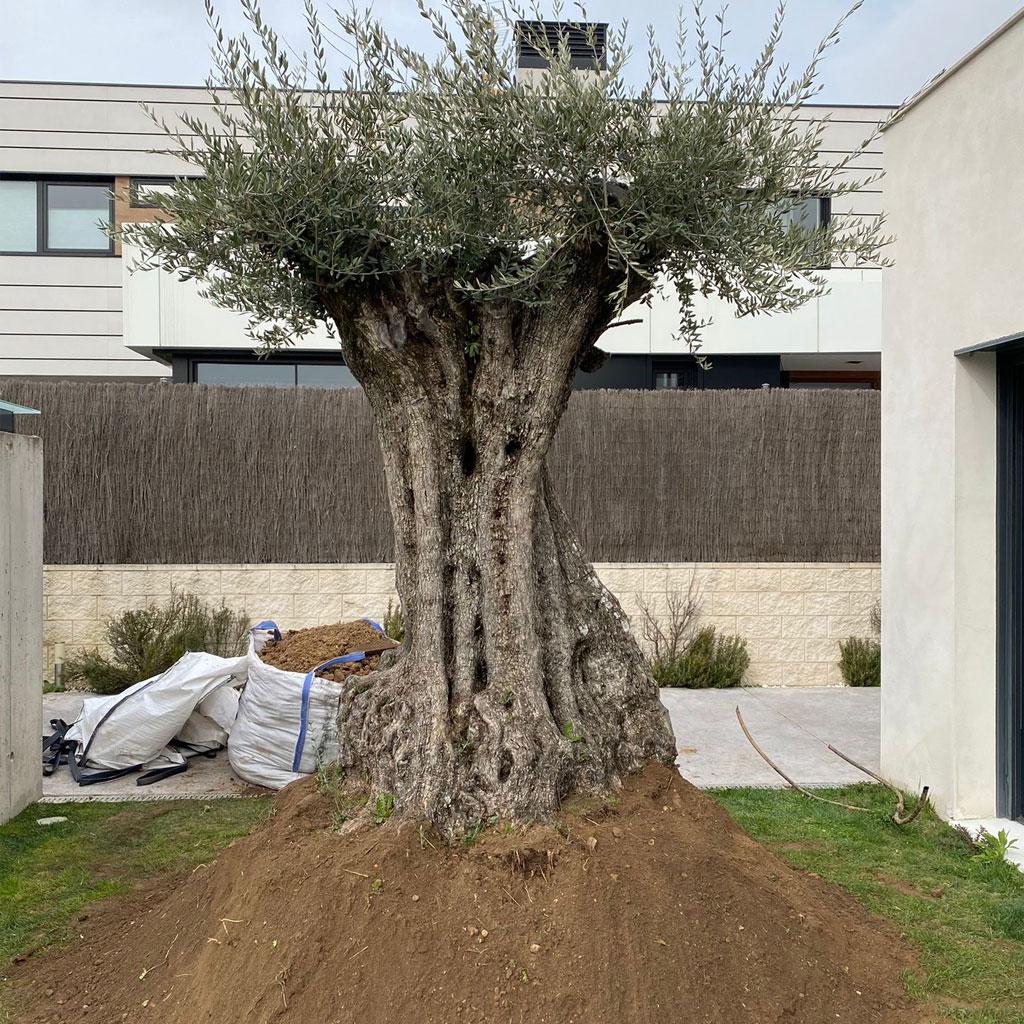 instalacion de olivos centenarios febrero
