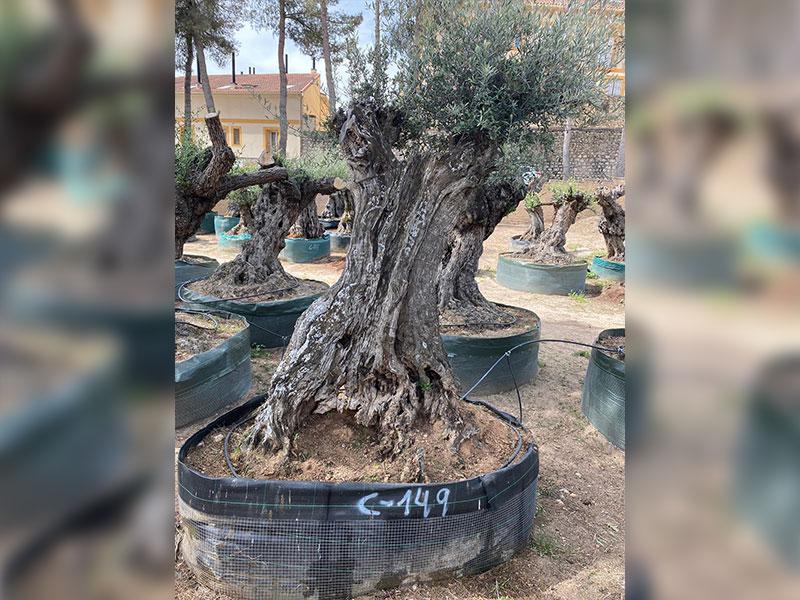 venta de olivos centenarios 149